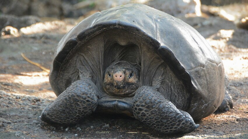 Dev kaplumbağa türü bulundu