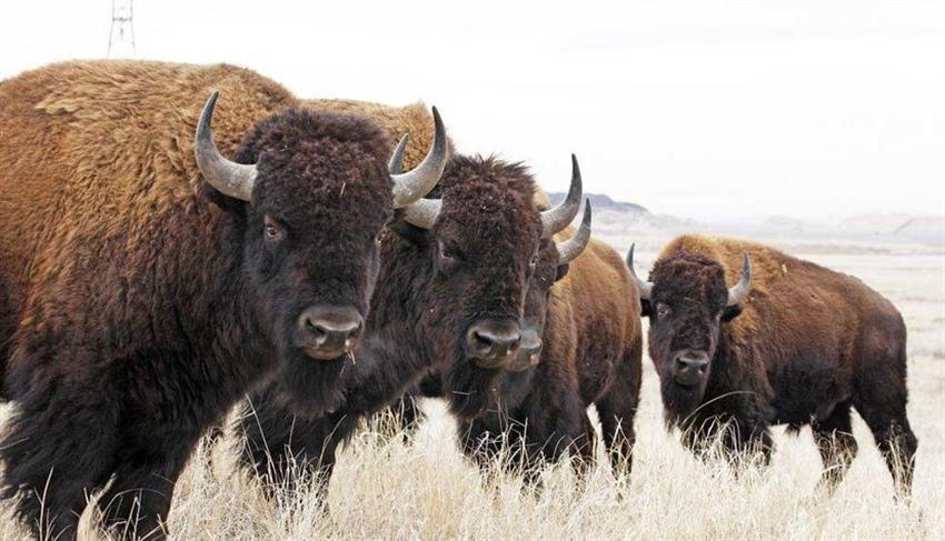 Bufalo avı için 45 bin başvuru